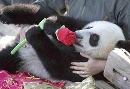 Romancing Panda