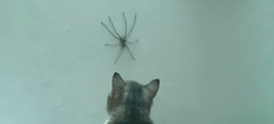 cat and large spider